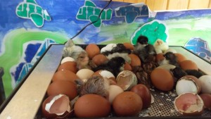 We hatched chicks!